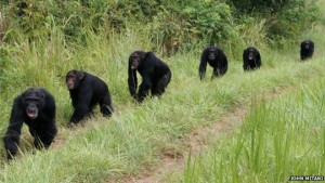 Male chimps on border patrol